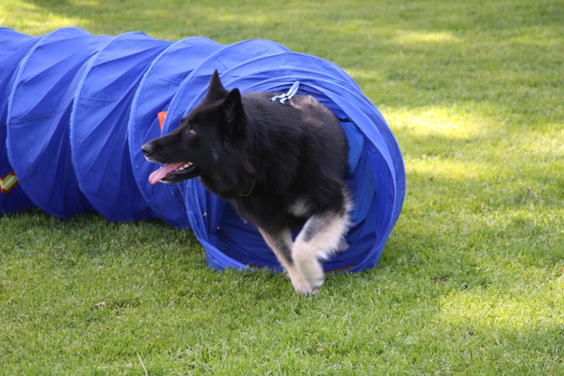 Kaylar coming out of the agility tunnel